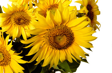 bunch of sunflowers isolated on white background