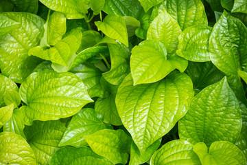 fresh Betel Leaf (Piper Betle)