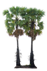 Palm tropical tree isolate