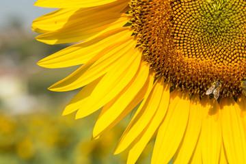 sunflowers in fields outside of Istanbul, Turkey