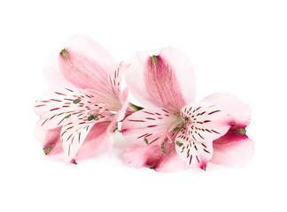 Alstroemeria pink flowers