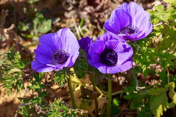 Bright violet anemones