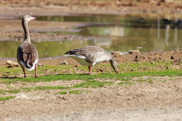 Two wild goose