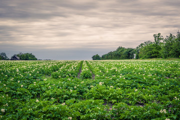 Potato field in cloudy weather