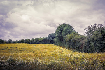 Field with chamomile flowers in cloudy weather