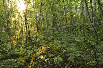 Summer nature sunrise in the deciduous dense forest