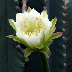 Cactus Plant with Blossoming White Flower