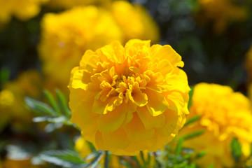 beautiful yellow dahlia