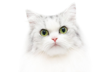 Unusual cat portrait, white background, shallow DOF