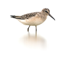 Broad-billed sandpiper on white background