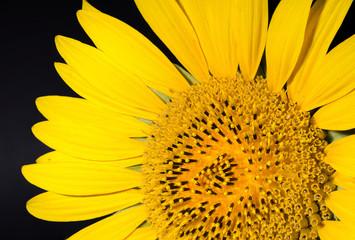 Sonnenblume vor schwarzem Hintergrund