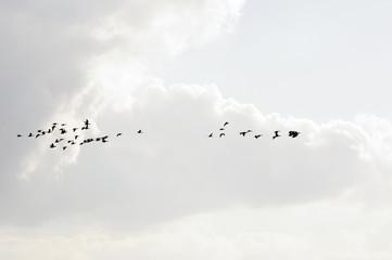 Wildgänse unter hellen Wolken / Ein Schwarm Wildgänse