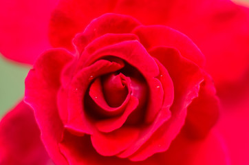 A close up macro of a red rose