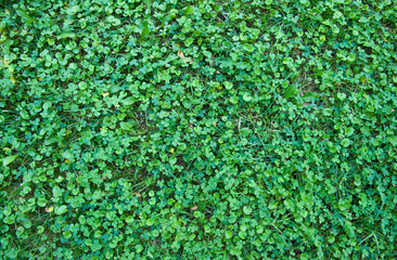 Clover natural field texture