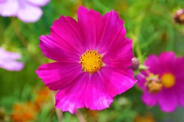 Bright pink kosmeya