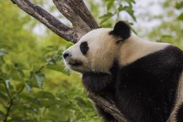 Fotobehang Panda Panda asleep