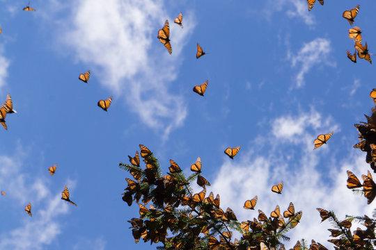 Monarch Butterflies flying in Michoacan, Mexico