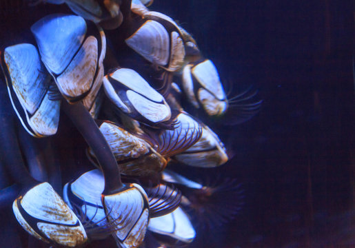 Pelagic gooseneck barnacles, Lepas anatifera, are found in tropical and subtropical oceans all over the world.
