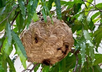 hornet nest of carnivore or Vespa affinis