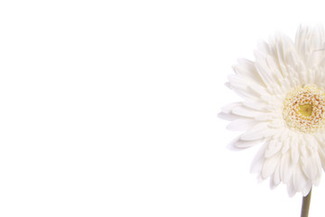 White daisy flower stock image , with right side negative space and isolated against white background
