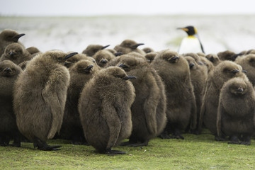 King Penguin (Aptenodytes patagonicus) Creche with adult King in