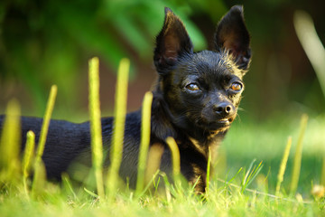 Black Chihuahua dog looks nice and professional at the camera. The dog are very small, but very cute and friendly.