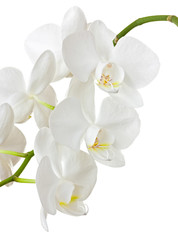 Fototapete - Beautiful white orchid isolated on white background