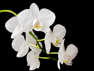 Wall Mural - Beautiful white orchid on dark background