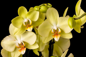 Fototapete - Beautiful yellow orchid on dark background