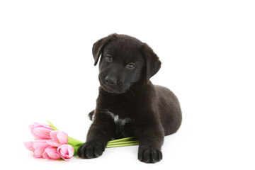 Beautiful black labrador puppy with flowers isolated on a white