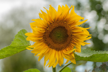 Sunflower flower with a blurred background