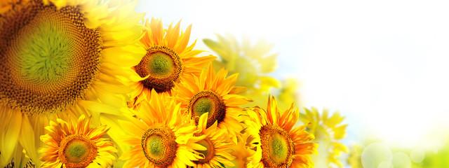 słoneczniki w słońcu