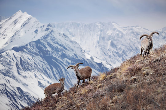 Wild blue sheep are standing on a hill next to Himalayas. Nepal, ACAP, Manang region, (4,550 m).
