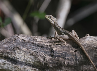 Female Basiliscus vittatus (Brown Basilisk) on Leaf Litter in th