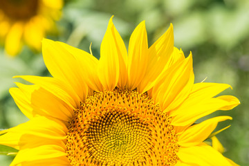 Sunflower half head closeup with green blured field background