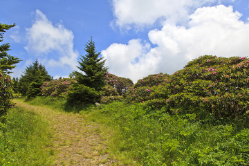 Roan Mountain at Carver's Gap with Rhododendron in Bloom