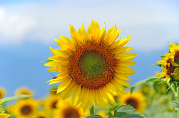 close-up of a beautiful sunflower in a field, Hokuto, Yamanashi, Japan