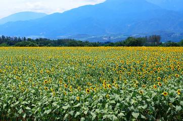 sunflowers field, Hokuto, Yamanashi, Japan