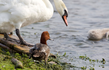 Funny redhead duck in the company of the swans