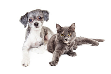 Wall Mural - Cute Grey Kitten and Puppy Laying Together
