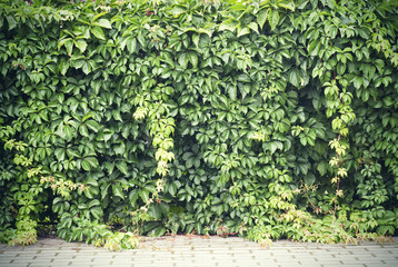 Green creeper plant