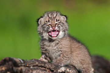 Wall Mural - Baby Bobcat Kit (Lynx rufus) Cries Atop Log