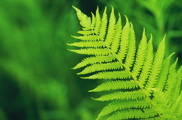 green fern leaf on de focused background