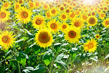 Beautiful sunflower field in summer