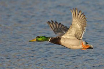 Wall Mural - Flying Mallard Duck