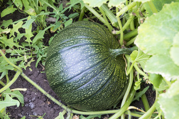 Pumpkin growing on the plantation