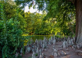 Sumpfzypresse im Schloßpark von Bad Kreuznach