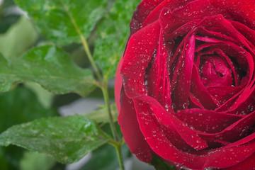 red rose..