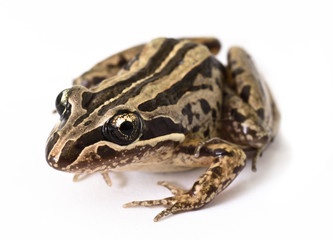Striped Marsh Frog (Limnodynastes peroni)