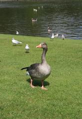 Goose in Frederiksberg Have